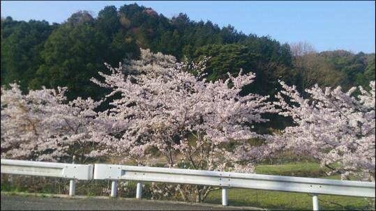 奥山田桜1-3