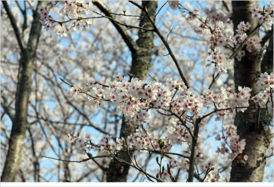 奥山田桜1-8