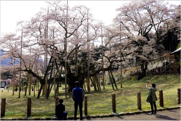 淡墨桜3の4-3