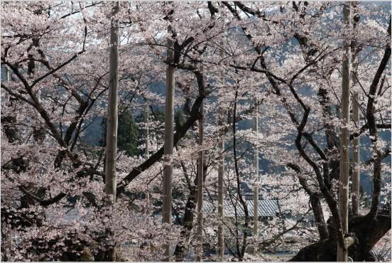 淡墨桜3の1-2