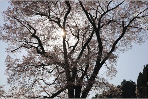 淡墨桜3の2-3二代目