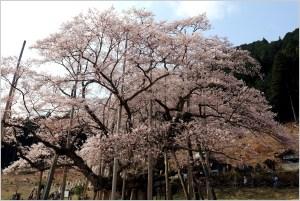 淡墨桜3のトップ