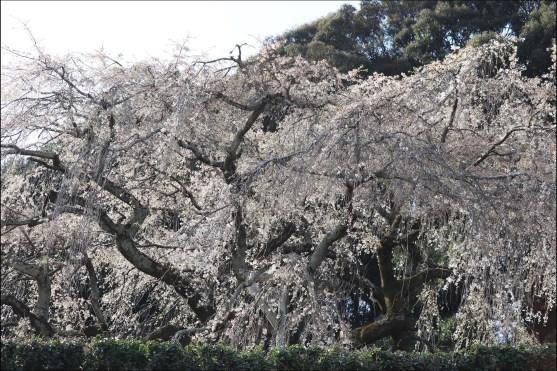 奥山田桜2の4-1