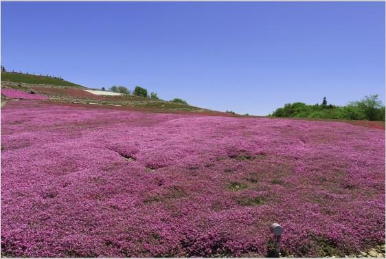 茶臼山4の5芝桜の花壇