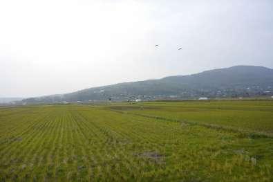 鶴の越冬溜場出水の田んぼ