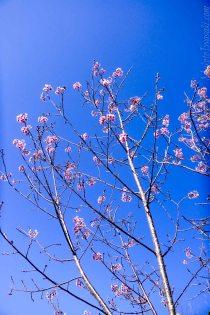 青空に桜が冴える