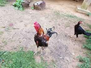 この鶏は逃げない。勇敢