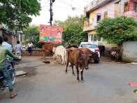 ゴミを漁る牛の乳を飲むヒンド人、ラッシー好きな外人観光客