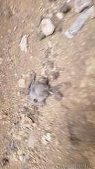 コウモリの死骸
