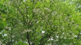 この木の白い花に蜂が群がる。
