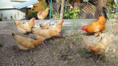 蛇が卵や雛を飲み込む