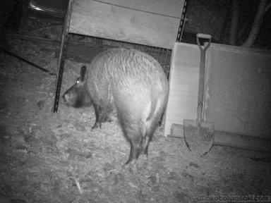 猪が箱罠の餌をあさる