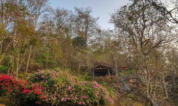 ムアンソウイの佛陀洞窟、木の花満開