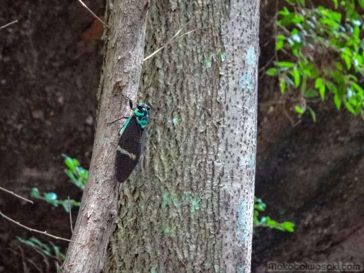 支那の武夷山中の緑蝉を思い出す