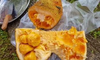 チャンパダはジャックフルーツより小型橙色強甘味