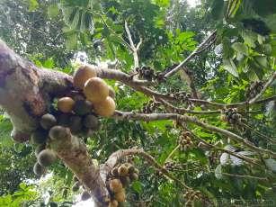 サトー豆の収穫とロンコンの木