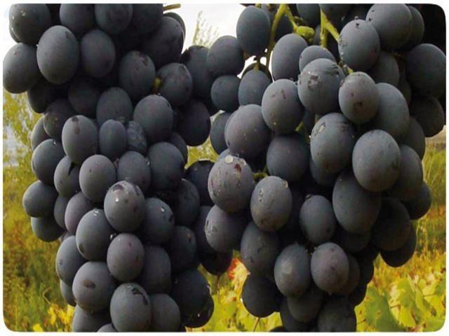 cimi_uzumu Erzincan'ın Endemik Meyvesi: Cimin Üzümü