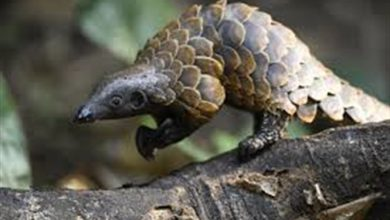 Photo of Pangolin Nedir?