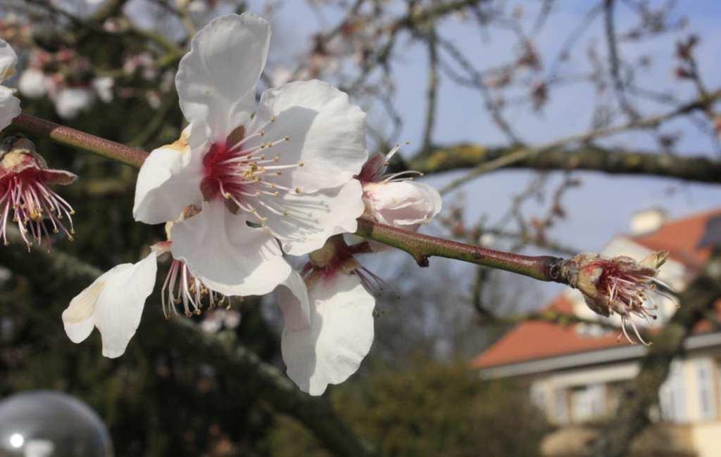 Mandelblütenfest – Festival de los almendros en Flor