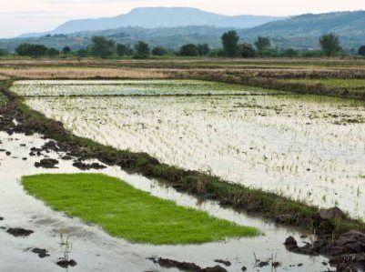 Rice Malawi