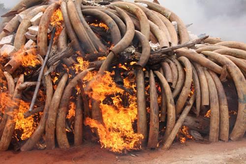 Malawi burns ivory