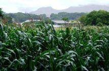 Maize-