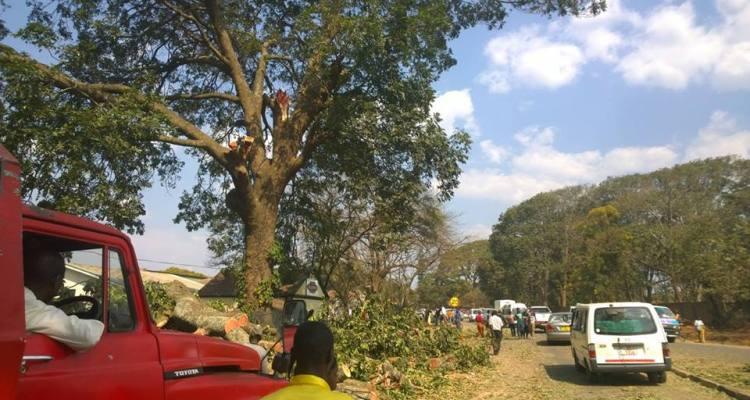 Mibawa Illovo trees