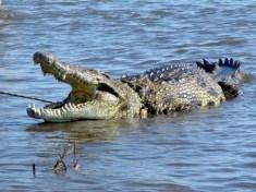 Crocodile penis