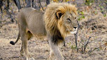 Lion-Malawi