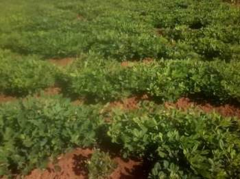 Groundnuts farm