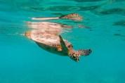 Athuruga Turtle