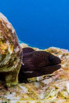 Athuruga Moray Eel