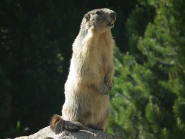 Marmota a la Vall de Paderna, a les Maleïdes.