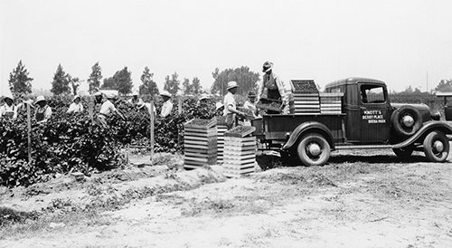 picking boysenberries