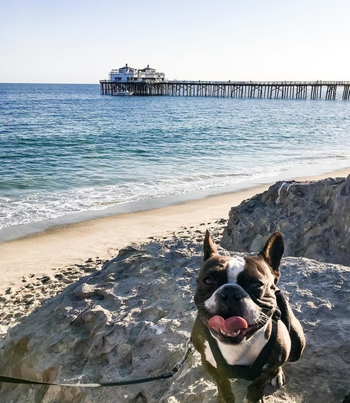 """Happy Place Happy Face"" – Matti the Frenchie at the Malibu Pier – Photo of the Day"