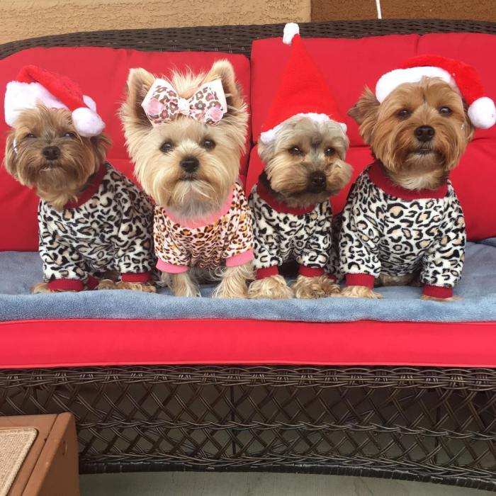 10-cute-holiday-puppies-fouryorkiesmom-1-12-22-2016-1