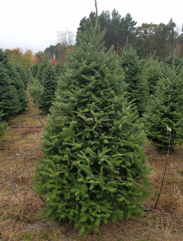 Freshly Cut 6′ Foot Green Fir Christmas Tree + Free Shipping
