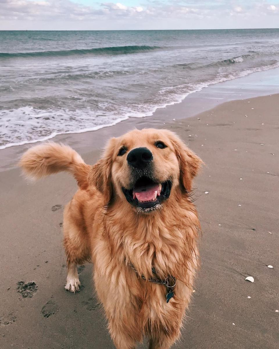 Finn the Golden Retriever at the Beach