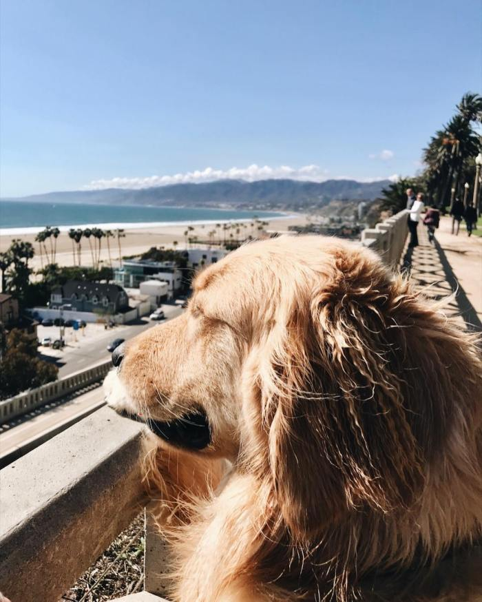 Finn the Golden Retriever in Santa Monica, California