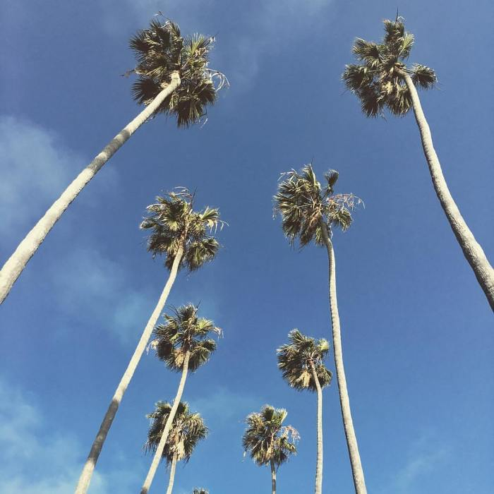 Palm Trees – Santa Monica