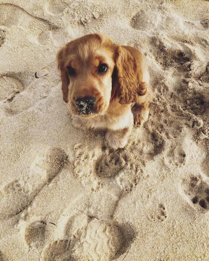 Reggie the Cocker Spaniel Puppy at the Beach