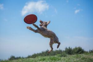 犬がフリスビーを取ろうとしてジャンプしているところ