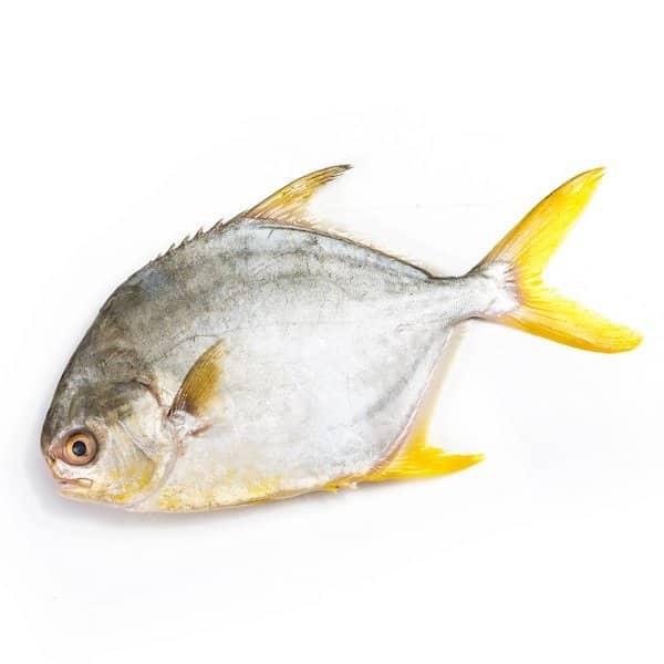 Golden Pomfret 大金鲳鱼 /条