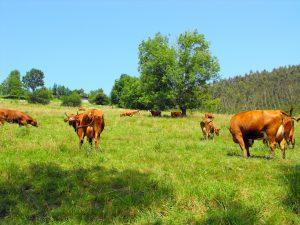 Vacas Pasiegas de la ganadería de Áurea Quintial