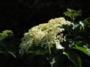 sambucus nigra flor