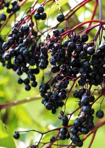 [cml_meya_alt itz='570']sambucus nigra fruto[/cml_meya_alt]