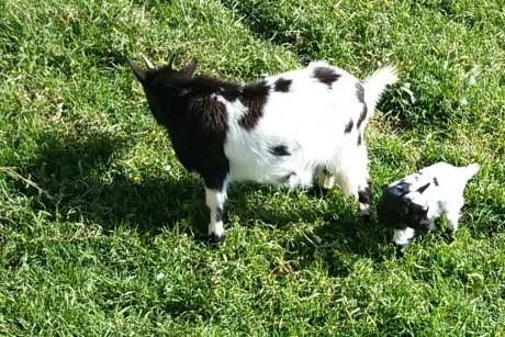 Schaf- und Ziegenmesse @ Calvià | Balearische Inseln | Spanien