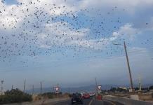 Miles de palomas torcaces amenaza con provocar accidentes en el aeropuerto de Palma, según los cazadores