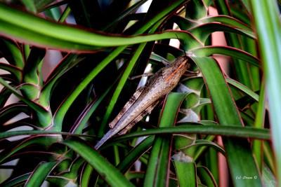 Südamerikanische Riesenheuschrecke