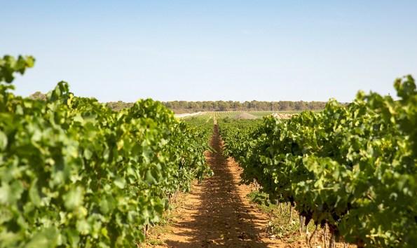 Bodegas Vi Rei Vineyard Mallorca